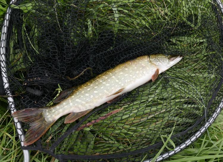 Brochet 50 cm spinner bait Yonne