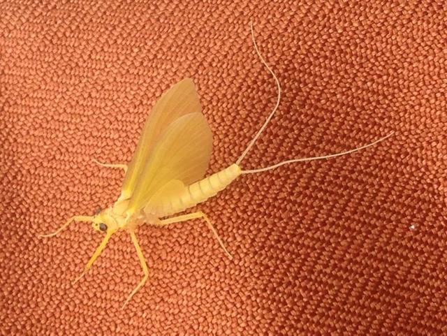 Heptagenia sulphurea Yellow May Dun subimago femelle