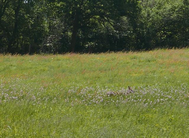 Chevrette dans les herbes