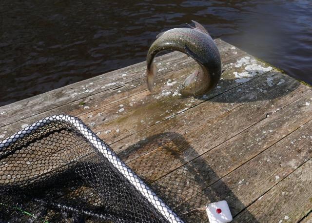 Truite arc en ciel 50 cm salto canne deux mains CRID Switch Trout Spey 11'6 # 2:3 - 15 65 g en sèche Peute
