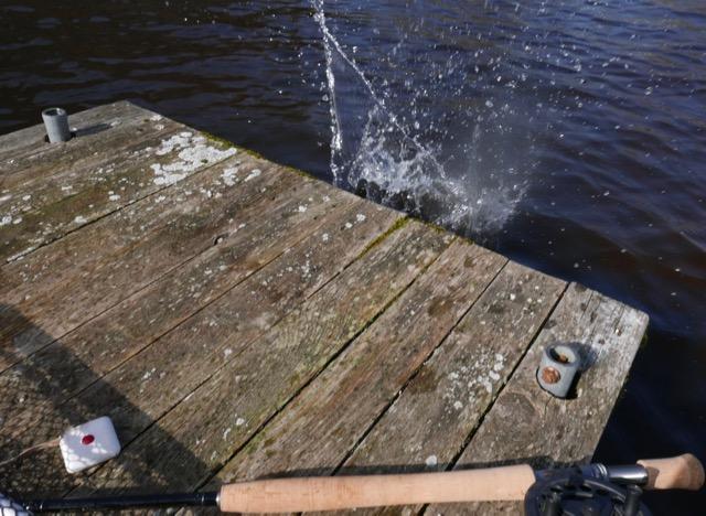 Truite arc en ciel 50 cm plouf canne deux mains CRID Switch Trout Spey 11'6 # 2:3 - 15 65 g en sèche Peute